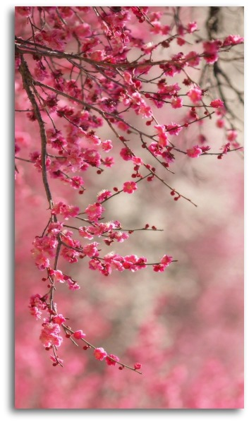 sakura_cherry_blossom-wallpaper-2560x800